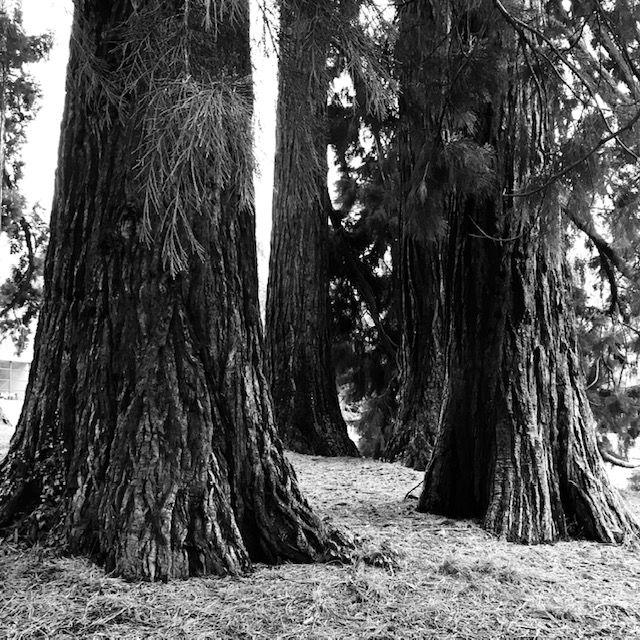 Photo de sequoias géants #séquoias#ancrage#nature#reliance#Genève